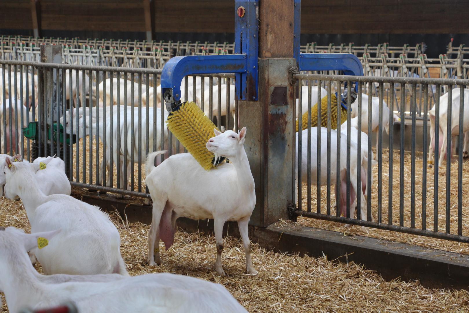 Visite de l'exploitation   Visite d'une ferme laitière de chèvres 79