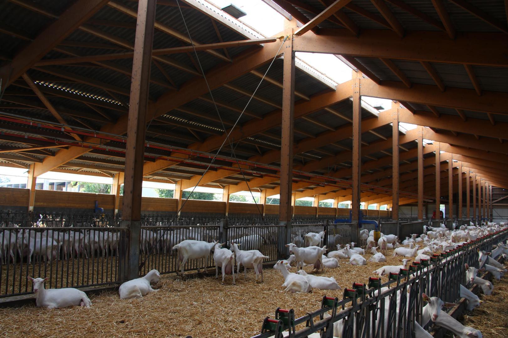 Fabrication artisanale de fromage de chèvre à Pougné-Hérisson